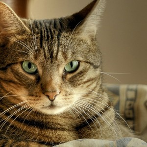 Биотин для кошек