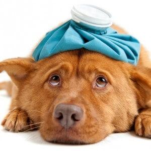 Первая помощь собакам при отравлении крысиным ядом