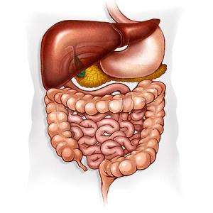 Альгиновая кислота и пищеварение