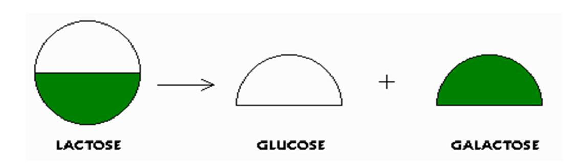 Биохимические свойства галактозы