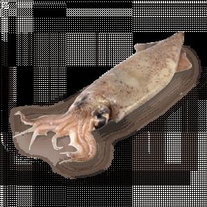 Строение кальмара