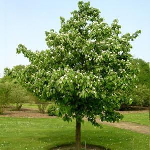 Дерево айвы