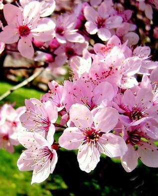 Настой из цветков алычи