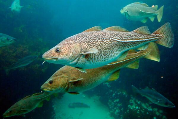 Вылов трески в Северном бассейне вырос на 10 тысяч тонн