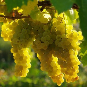 Виноград Уни Блан