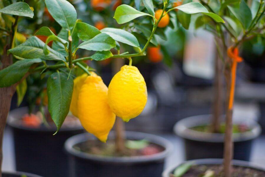 Другие сферы использования лимона