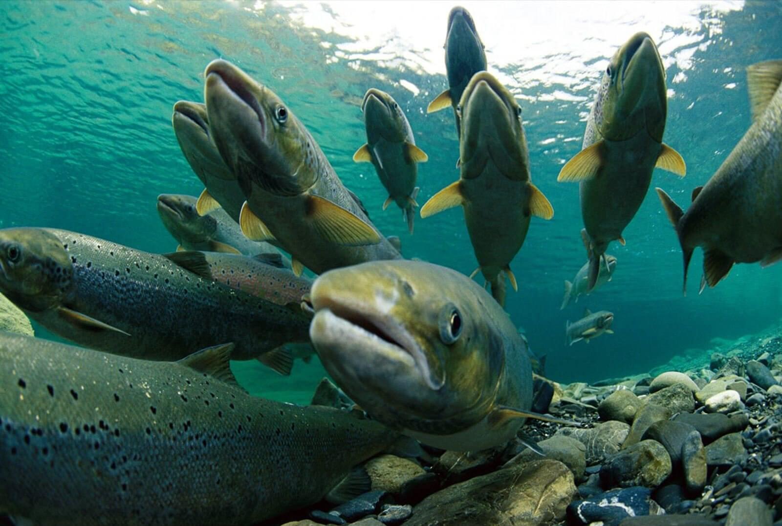Горбуша: калорийность и БЖУ, польза и вред для организма, состав рыбы, полезна ли консервированная, можно ли есть при панкреатите и на диете