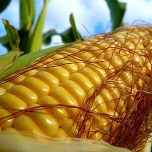 Как выбрать кукурузу