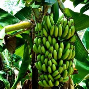 Общая характеристика банана