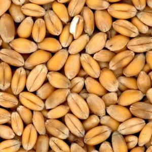 Полба - источник антиоксидантов