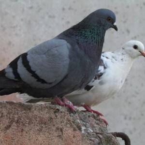 Полезные свойства голубятины