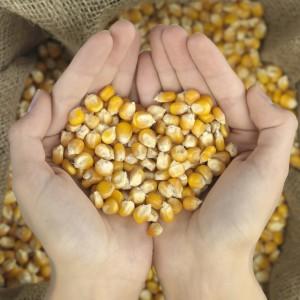 Польза кукурузы для сердца