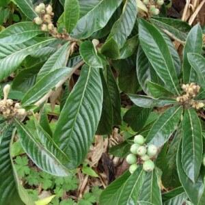 Польза листьев мушмулы