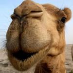 Верблюжатина