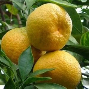 Виды мандаринов