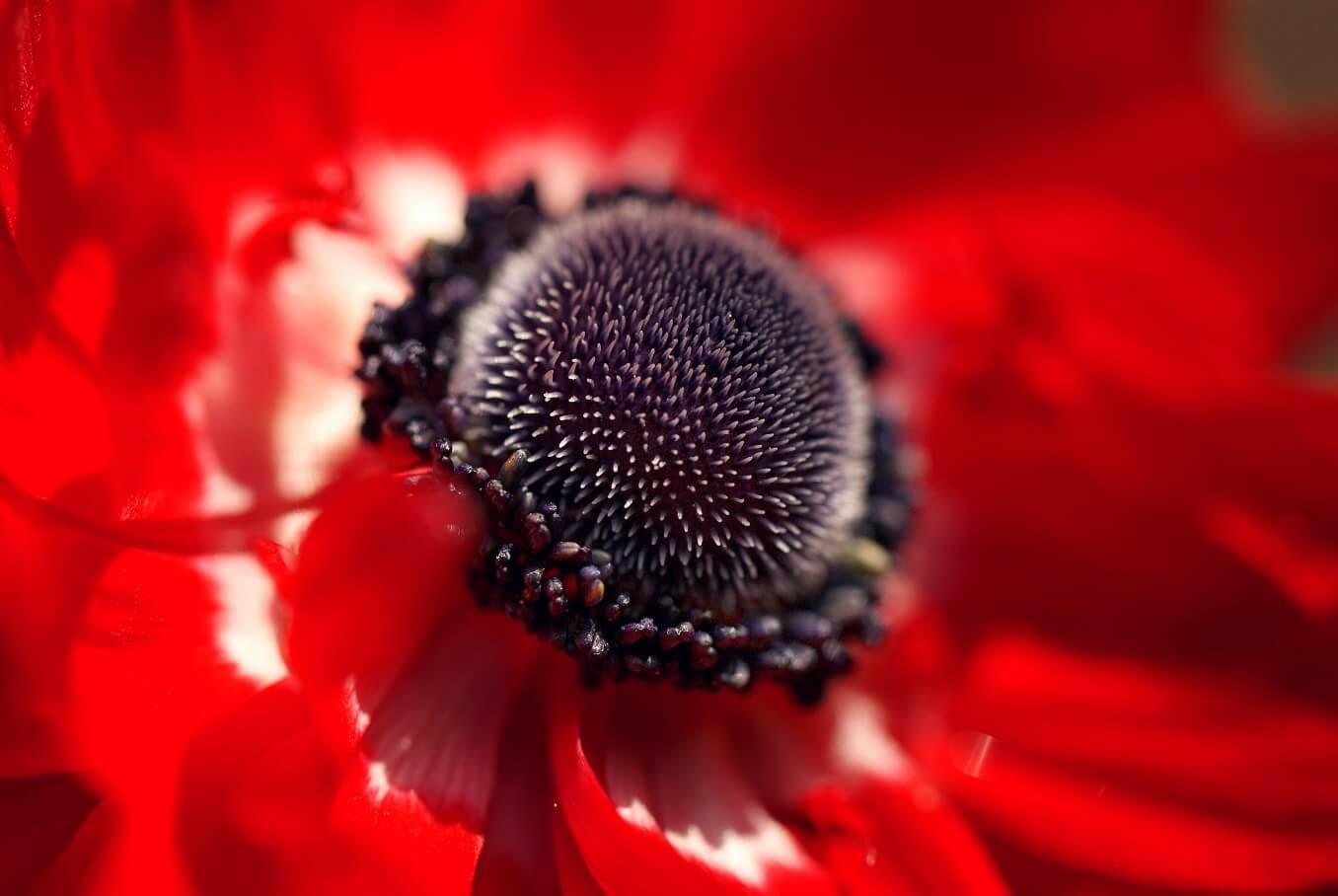 Семена мака полезные свойства и противопоказания