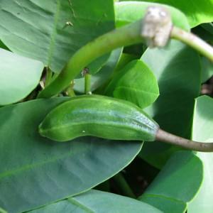 Отвар листьев каперсника