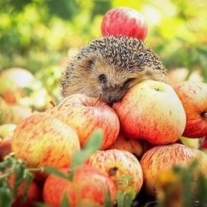Питательная ценность яблок