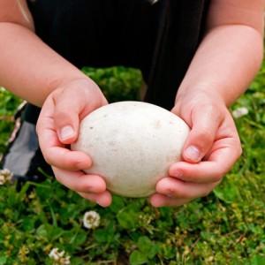 Гусиное яйцо - источник аминокислот