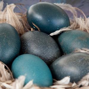 Как выглядят яйца эму