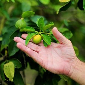 Преимущества бергамота для здоровья