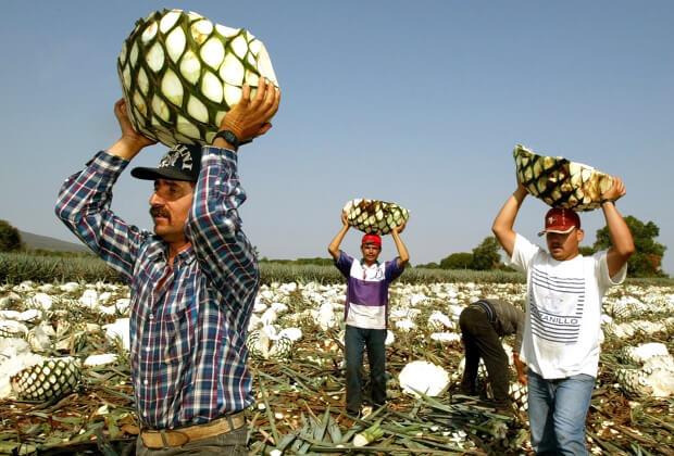 Сбор и обработка агавы