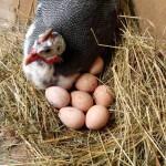 Яйца цесарок