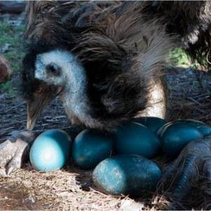 Яйцекладка