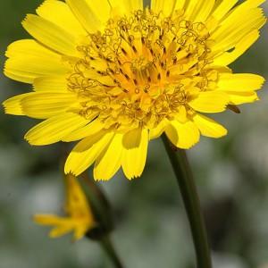 Ботаническое описание козлобородника