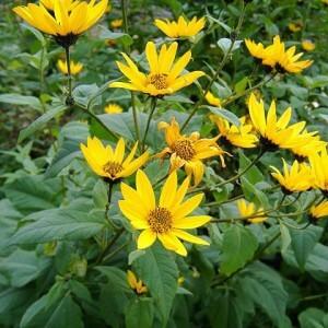 Ботаническое описание топинамбура