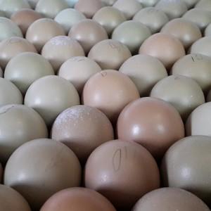 Как узнать яйцо фазана