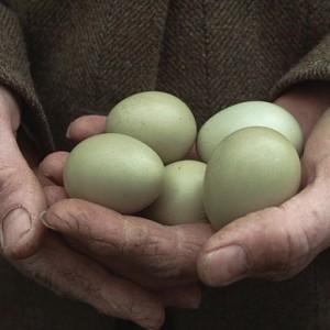 Полезные свойства фазаньих яиц