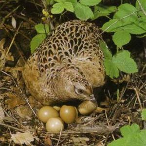 Яйцо фазана