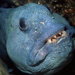 Зубатка