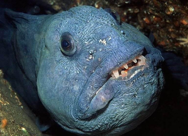 Рыба зубатка польза и вред как приготовить