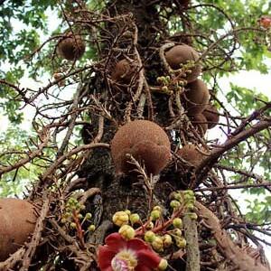Бразильский орех на дереве