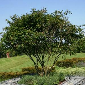 Дерево ирга