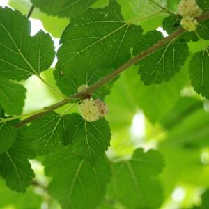 Листья белой шелковицы