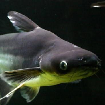Рыба пангасиус🐟: фото и описание. Как выглядит пангасиус👍, чем питается и где водится