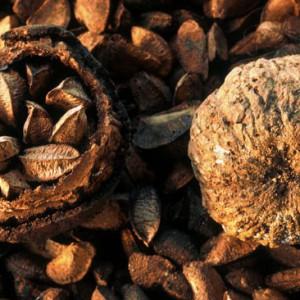 Плод бертолетии