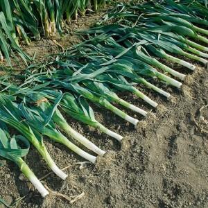 Сбор урожая порея