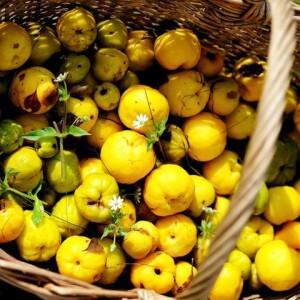 Спелые плоды японской айвы