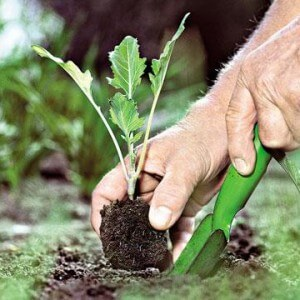 Высаживание капусты кольраби