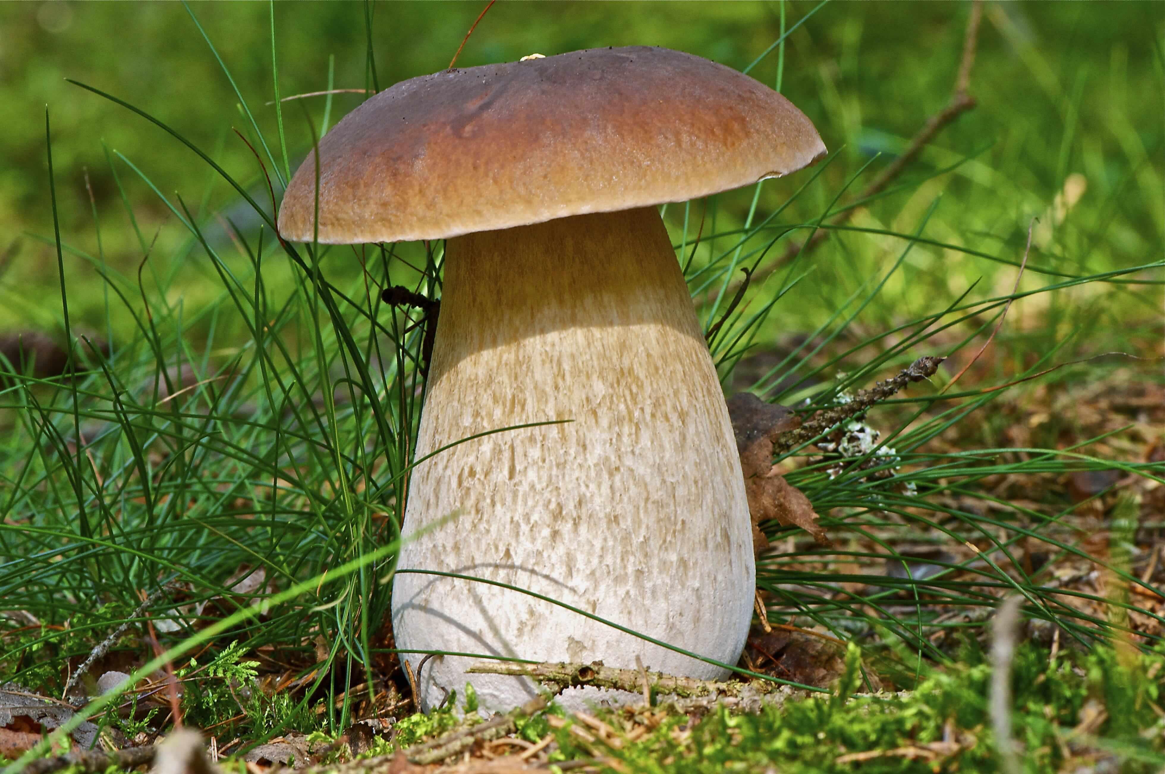 Белые грибы польза и вред для организма