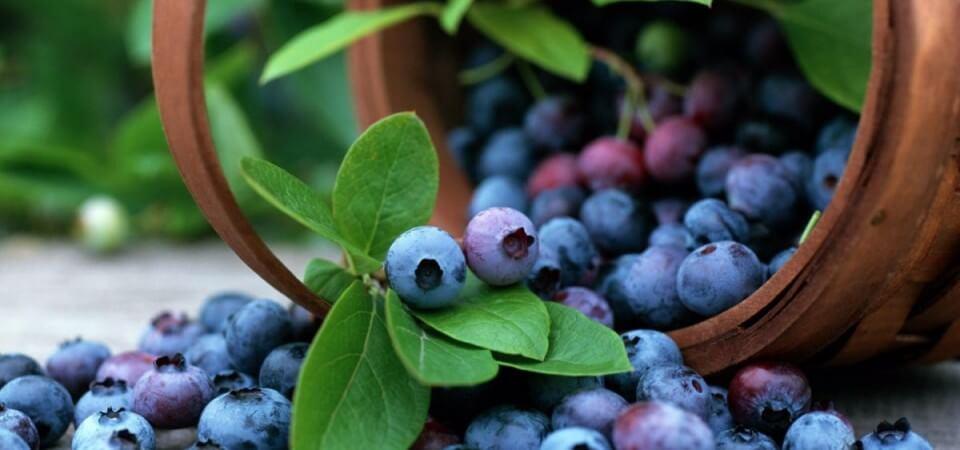 Черничные ягоды