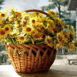 Цветы девясила