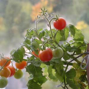 Куст помидора черри