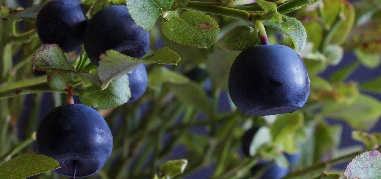 Плоды черничного кустарника