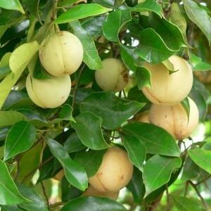 Плоды мускатного дерева