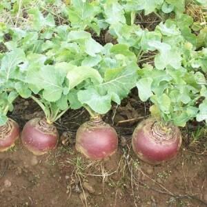 Выращивание брюквы